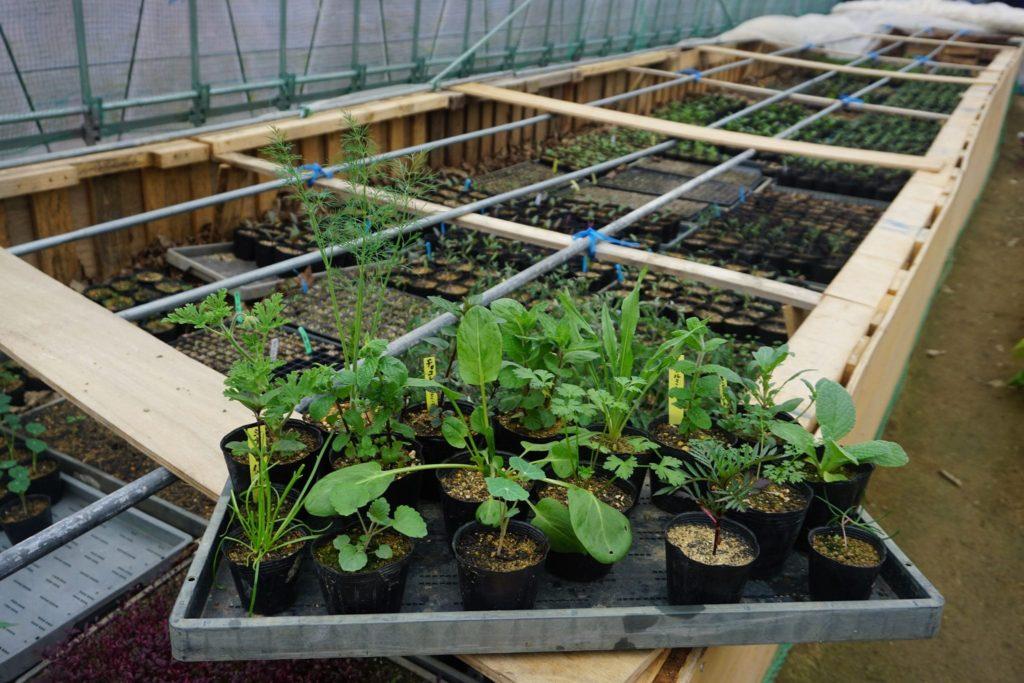 無農薬ハーブ苗の販売を始めます